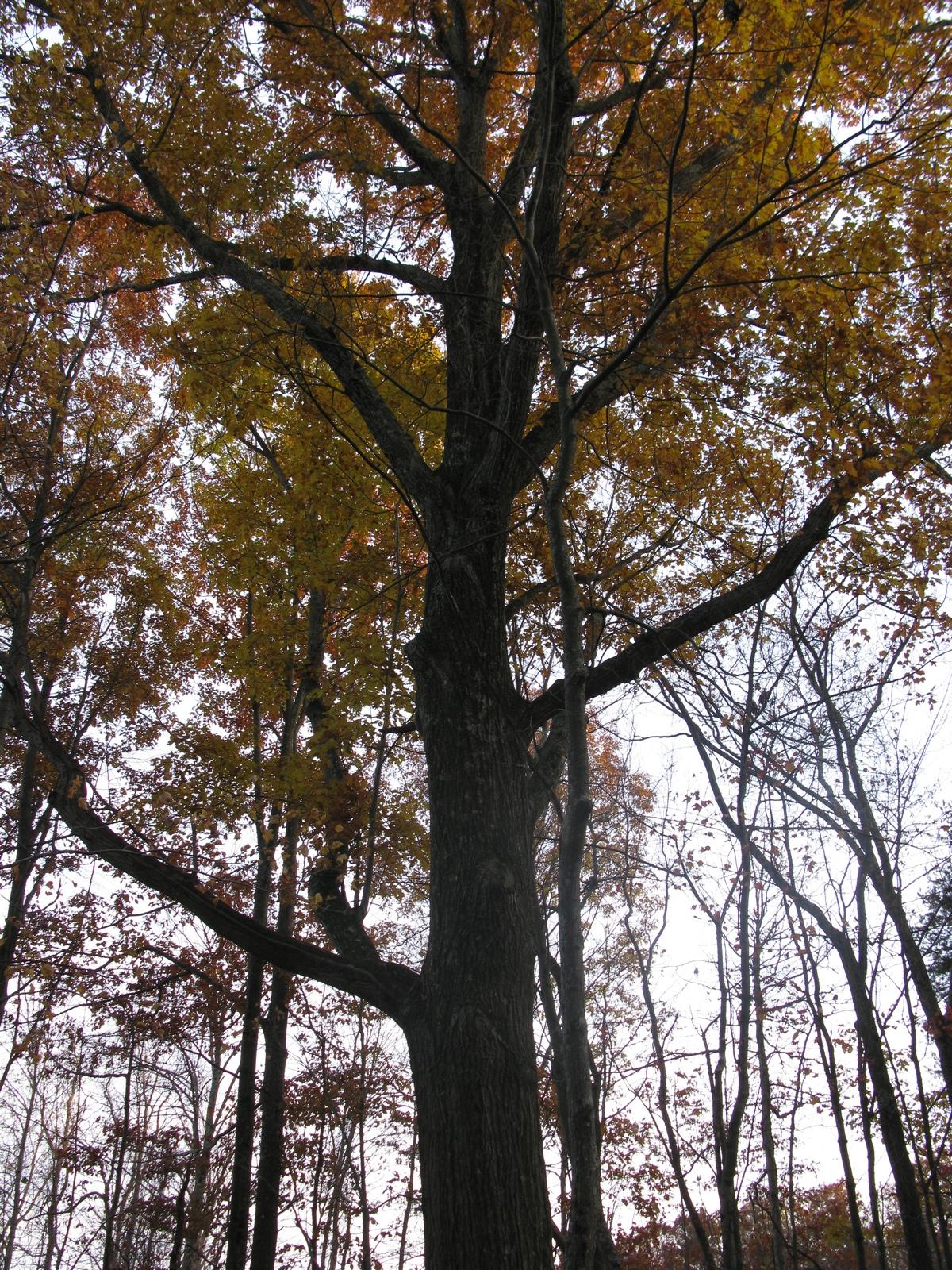 Large Oak.jpg