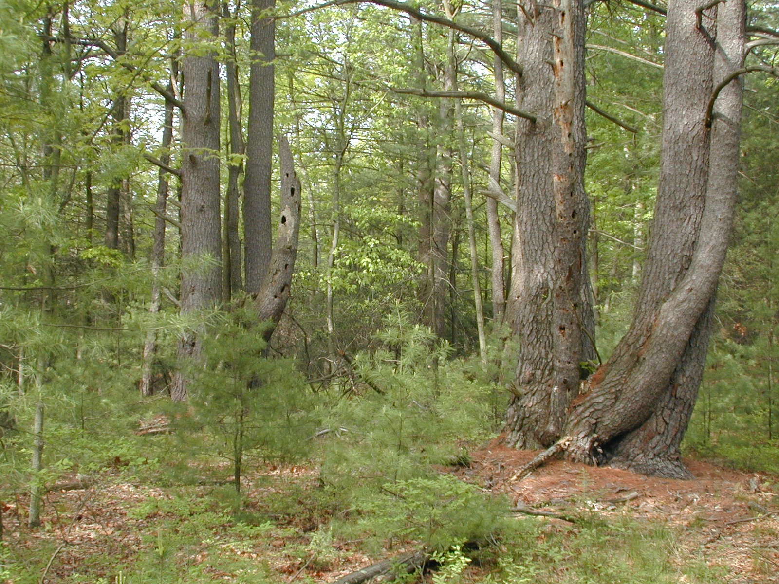 Grove of large fir trees