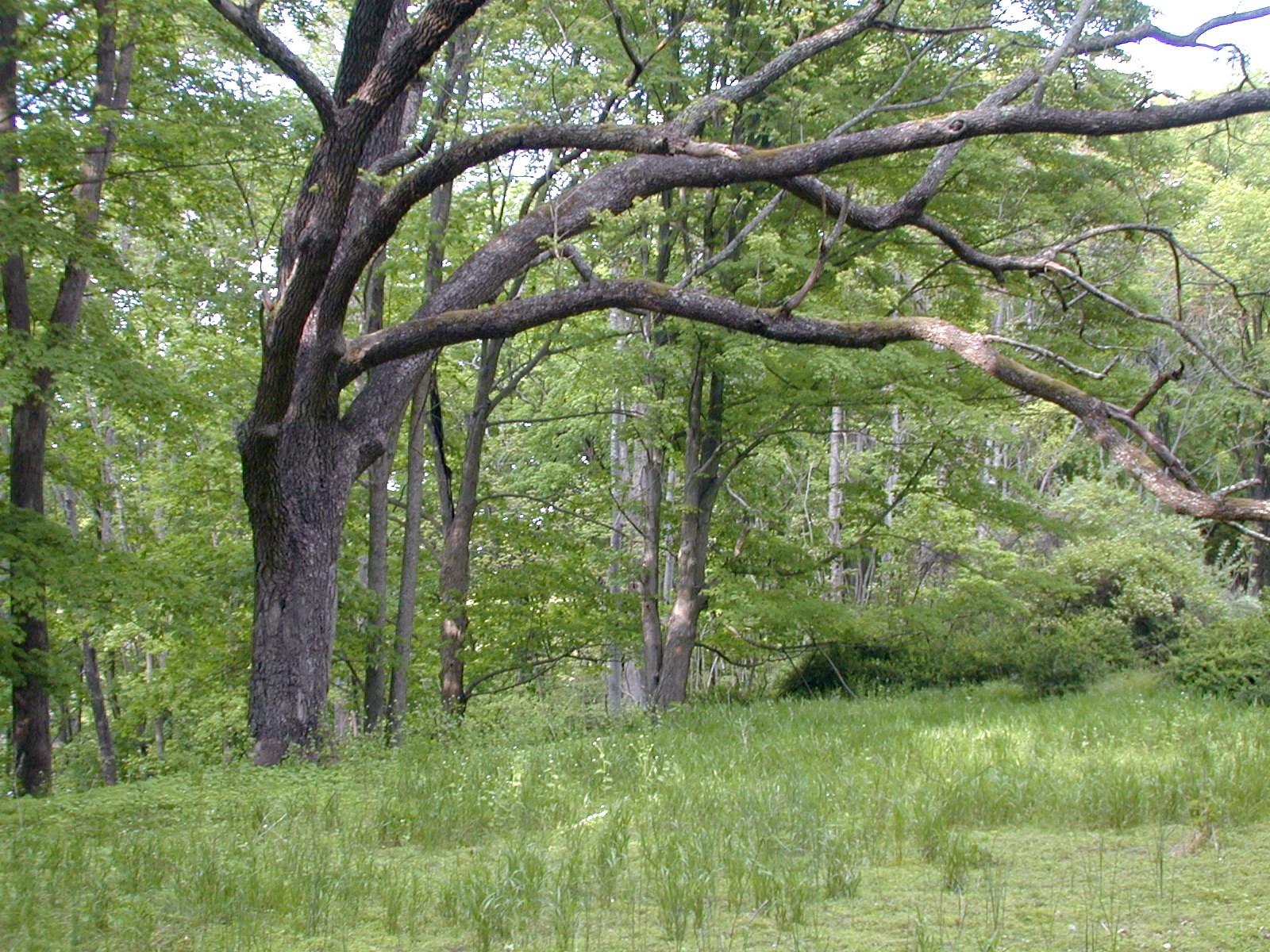 Old tree near the site of the Kinney farm
